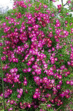 ~Robinette Rambler rose