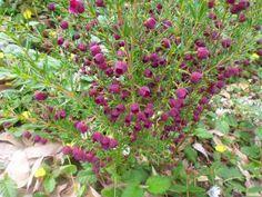 Australian Garden Design, Australian Plants, Cut Flowers, Purple Flowers, Hello Hello Plants, African Plants, Small Shrubs, Coastal Gardens, Home Garden Design