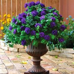 Urning Their Keep This bountiful urn of double purple petunias is a focal point in the garden, and certainly urns it's keep.