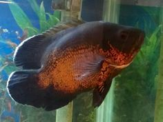 If you're looking for a larger fish with some character, the Tiger Oscar Cichlid may be a great choice. I've even trained mine to eat from my fingers!