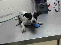 ~~DEADLINE IS MONDAY 07/18/16 CLOSE OF BUSINESS !!~~ This DOG - ID#A463750 I am a male, white and black Rat Terrier. The shelter staff think I am about 6 months old. I have been at the shelter since Jul 13, 2016. Harris County Public Health and Environmental Services. https://www.facebook.com/harriscountyanimalshelterpetshouston/videos/1182933975103732/