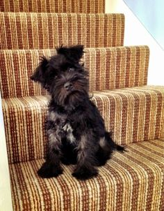 The life of a mini schnauzer puppy, Milo.