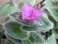Plantas y flores: Tradescantia sillamontana