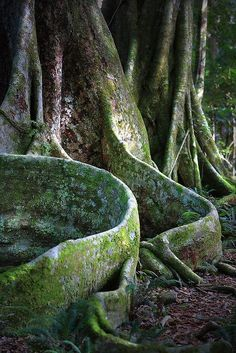 Primeval Forest, Shiratani Unsuikyo, Japan. Root walls.