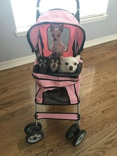 Not a fan of toting dogs around in a stroller but I do love the Chi's ❤️