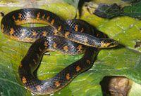 Culebra paramera, Atractus crasicaudatus, reptil no venenoso que vive oculto en pequeños túneles bajo el suelo o en la materia orgánica; se alimenta de lombrices y larvas de insectos.