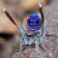 Resultado de imagen para araña pavo real gif