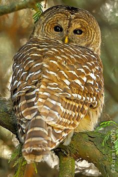 Barred Owl looking back...