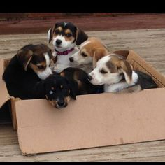 Foster Puppies, Foster Dog, Beagle Husky Mix, I Love Dogs, Puppy Love, Types Of Dogs, Puppy Eyes, Mixed Breed, Working Dogs