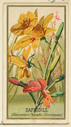 George S. Harris & Sons (American, Philadelphia), as issued by Goodwin & Company. Daffodils (Narcissis Pseudo-Narcissus), from the Flowers series for Old Judge Cigarettes, 1890. The Metropolitan Museum of Art, New York. The Jefferson R. Burdick Collection, Gift of Jefferson R. Burdick. (Burdick 214, N164.6) #spring