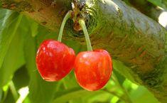 Drzewa owocowe zawsze warto mieć w swoim ogrodzie. Pięknie kwitną, a owoce z własnej uprawy...