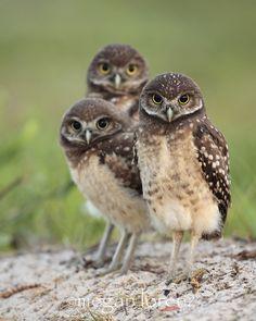 Triplet Burrowing Owlets, Cape Coral, Florida | Megan Lorenz on 500px