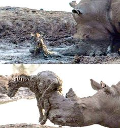 Yes, the Rhino is saving the Zebra foal..That is the world we tend to forget...I will not..For a long time, I hope...