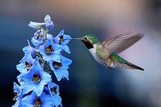 Hummingbird on blue delphinium