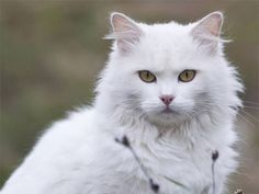 Turkish Angora Cat- Beautiful!!! i love it <3 http://ift.tt/2eTw2yj                                                                                                                                                                                 More