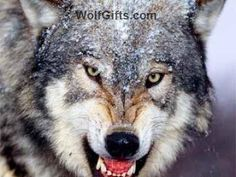 Visit WolfGifts.com for more cool wolf photos. Wolf Photos, Wolf Pictures, Animal Print Bedding, Snow Wolf, Wild Wolf, Most Beautiful Animals, Types Of Dogs, 5d Diamond Painting, Your Paintings