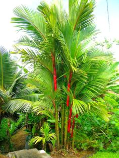 Solution Seeds Farm New Heirloom Lipstick Palm Cyrtostachys Renda Tree Seeds 10 seeds, red sealing wax palm Seeds (Not Tree or Plants) Tropical Backyard Landscaping, Landscaping Plants, Garden Plants, Landscaping Ideas, Tropical Patio, Luxury Landscaping, Garden Seeds, Red Palm, Landscape Design Plans