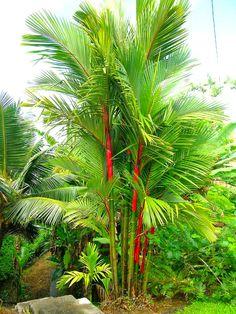Cyrtostachys renda (syn. lakka) - Tropik.cz Red Palm