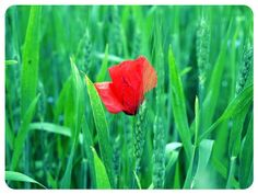 lonely poppy #DSLR #andrography #nature #photography #fotodroids #flower