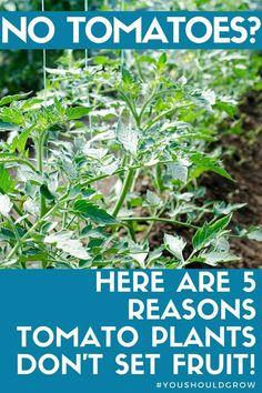Tomato Plant Food, Tomato Garden, Tomato Plants, Tomato Pruning, Gardening For Beginners, Gardening Tips, Vegetable Gardening, Veggie Gardens, Arizona Gardening