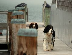 English Springer Spaniels Love this Dogs!❥