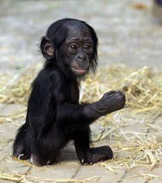 Baby Bonobo - super cute
