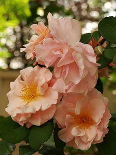 Clair Matin climbing rose