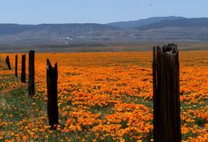 Old fence post in Antelope Valley Poppy Preserve in Antelope Valley, Ca.