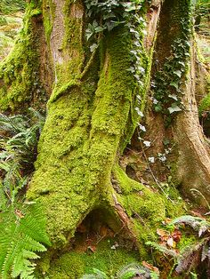 Ivy and Moss Tree..