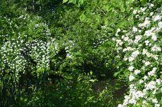 Invasive white prickly bush everywhere