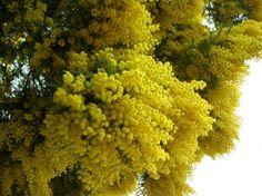 Tanti auguri alle mimose, ovunque siano!