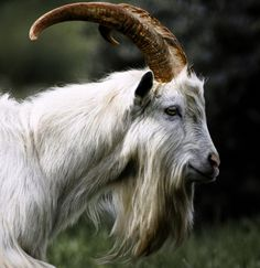 We've gathered our favorite ideas for Now Thats A Handsome Billy Goat All Creatures Great, Explore our list of popular images of Now Thats A Handsome Billy Goat All Creatures Great. Ugly Animals, Fluffy Animals, Farm Animals, Animals And Pets, Cute Animals, Cabras Saanen, Funny Goat Pictures, Beautiful Creatures, Animals Beautiful