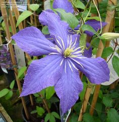 Full size picture of Clematis 'Rhapsody' (Clematis)