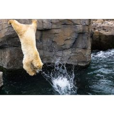 [Free Stock Images] animals, mammals, bear / bear, polar bear / polar bear, dive / dive, splash ID: 201412151800