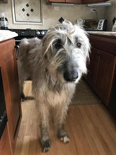 Our Irish Wolfhound turns 6 this year. She's as tall as the counters in the kitchen!   http://ift.tt/2mELKwX via /r/dogpictures http://ift.tt/2mBtaVp  #lovabledogsaroundtheworld