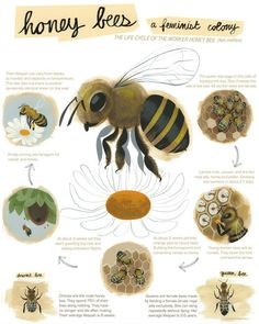 The life cycle of the worker honey bee is illustrated on this fun and educational poster by Amanda Visell. | $30 from Switcheroo