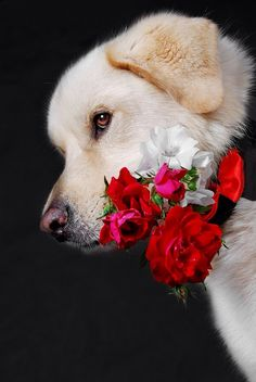 Ana Rosa - Golden Retriever puppy with a pretty corsage Love My Dog, Animals And Pets, Baby Animals, Cute Animals, Tierischer Humor, Image Chat, Retriever Puppy, Family Dogs, Beautiful Dogs