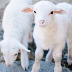 This cute baby lamb is ready to take on the world! Cute Creatures, Beautiful Creatures, Animals Beautiful, Cute Baby Animals, Farm Animals, Animals And Pets, Cute Lamb, Sheep And Lamb, Baby Sheep