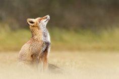 Znalezione obrazy dla zapytania fox