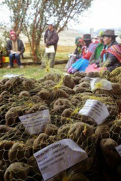 papas, el producto de la región - Tinyaq Provincia de Andahuaylas, Región de Apurímac, Peru. El Perú tiene mas de 2000 variedades de papas.