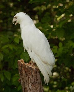 Leucistic hawk cared for at Cincinnati Raptor Inc.  Not albino.