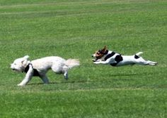 Cruising altitude for a Jack! Exactly like our J. He thinks he is part Gazelle! Jumping Dog, Short Dog, Tallest Dog, Parson Russell Terrier, Dogs And Puppies, Doggies, Dogs Of The World, Little Dogs, Dog Photos