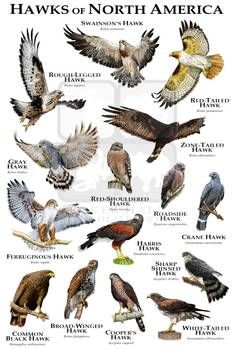 Animals Of The World, Animals And Pets, Funny Animals, Hawk Species, Bird Species, North American Animals, Bird Identification, Bird Poster, Animal Tracks