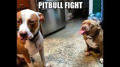 Pitbull fight