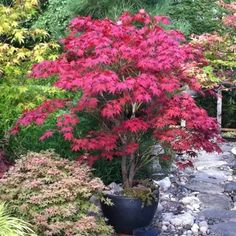 'Bloodgood' Japanese Maple   Part shade ▪ (H) 12'-15' (W) 12'-15' ▪ Zone 5-8. Burgundy red coloring turns brilliant scarlet in fall. Slender, airy tree one of the hardiest Japanese Maples.