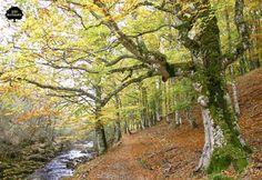 HAYEDO DE MONTEJO. Situado entre Madrid y Guadalajara, en la Sierra Pobre, en el nacimiento del río Jarama. Reducto de vegetación atlántica en el límite de su distribución geográfica peninsular, lo que lo convierte en el único bosque de hayas de la región.