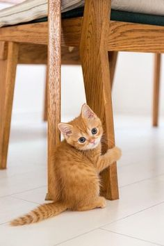 These Wuvely kittens will rock your world! Kittens in rocking chairs Cute Kittens, Kittens And Puppies, Kittens Meowing, Fluffy Kittens, Tabby Cats, Pretty Cats, Beautiful Cats, Animals Beautiful, Cute Baby Animals