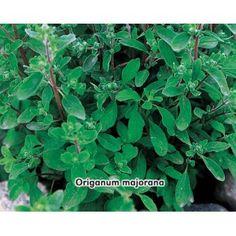 Majorán záhradný (rastliny: Majorana hortensis) - semená majoránu 0,4g