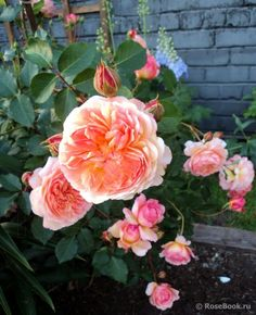 """""""Rose de Gerberoy ®"""" - Shrub rose - Bred by Dominique Massad (France, 2010).- Salmon-pink.  Strong fragrance.  Double (17-25 petals) bloom form.  Blooms in flushes throughout the season."""
