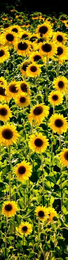 These beautiful sunflowers grew abundant on my moms property in the Manzano mountains. So beautiful!